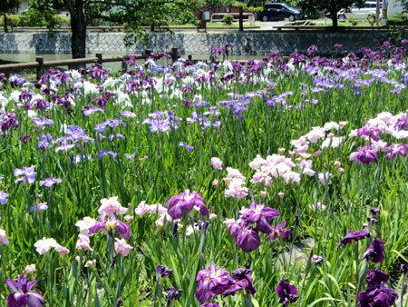 160603_九華公園・菖蒲園