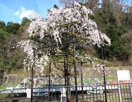 210326_蹴上インクライン・しだれ桜